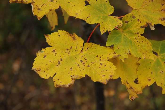 Die große Anzahl von Ahornbäumen färbt das Karwendel im Herbst eintigartig bunt, ein Naturspekatakel