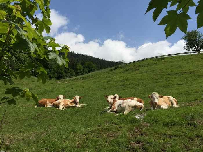 Auf den grünen Wiesen in Stans treffen wir auch Kühe im Karwendelgebirge